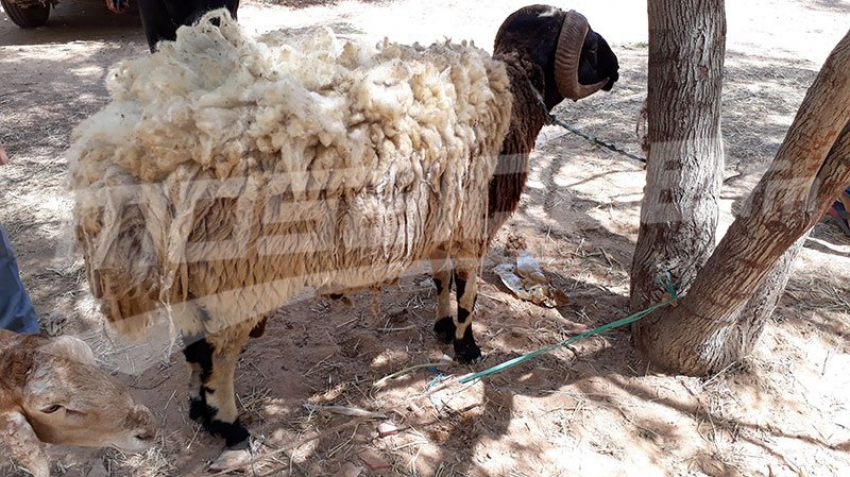 تطاوين:توفر 15 خروف للأضاحي وغياب الخروف المهرّب