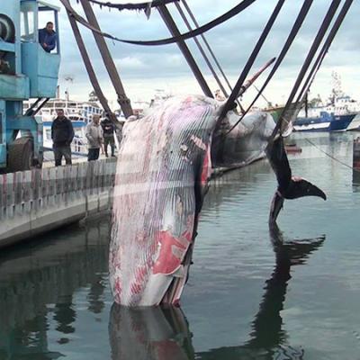 Sfax : découverte d'une baleine échouée près du port de la pêche
