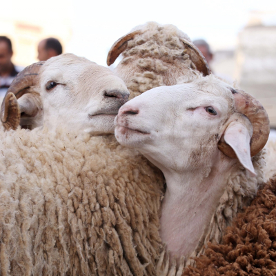 Les moutons de l'Aid : le citoyen déplore les prix élevés l'agriculteur et l'intermédiaire veulent récupérer les pertes
