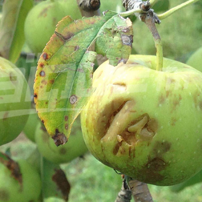 Siliana: la chute de la grêle a dévasté plusieurs arbres fruitiers
