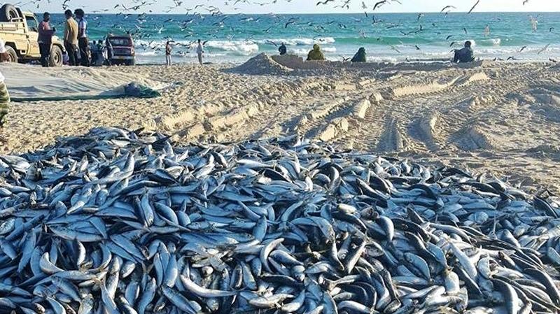 نوع جديد من سمك السردين يظهر في سواحل غار الملح