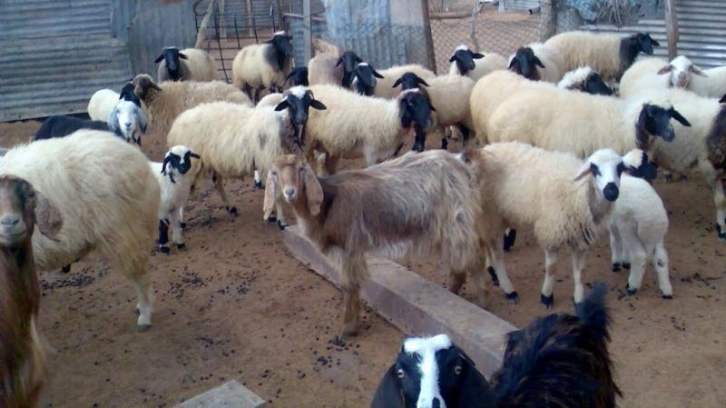 سيدي بوزيد : حيوان بري مجهول يقتحم الزرائب و يفتك بالأغنام
