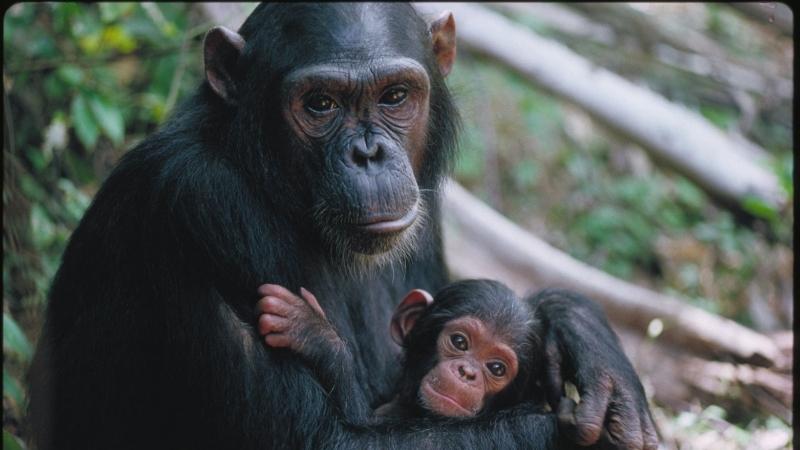 الشامبانزي
