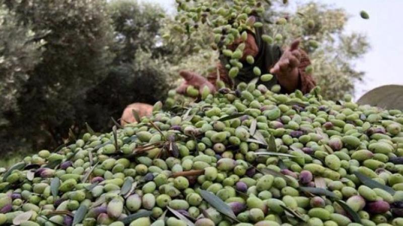 صفاقس: فلاحون يطالبون بتمكينهم من جمع محاصيلهم من الزيتون