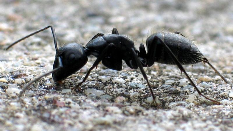 النمل يعالج جرحاه بعد المعارك
