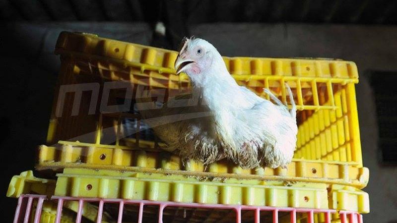 إعدام 5 آلاف طير من أمهات الدجاج في الحمامات