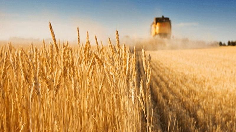 توقّعات بتسجيل نقص في صابة الحبوب بالقيروان