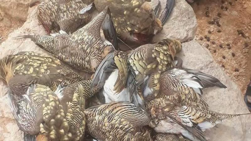 تطاوين: تحذيرات من انقراض طائر ''القطا'' بسبب الصيد العشوائي