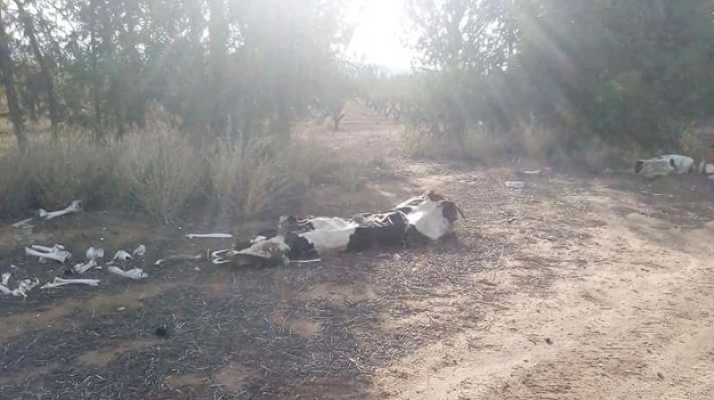الأبقار 'تموت جوعا' في سليانة !