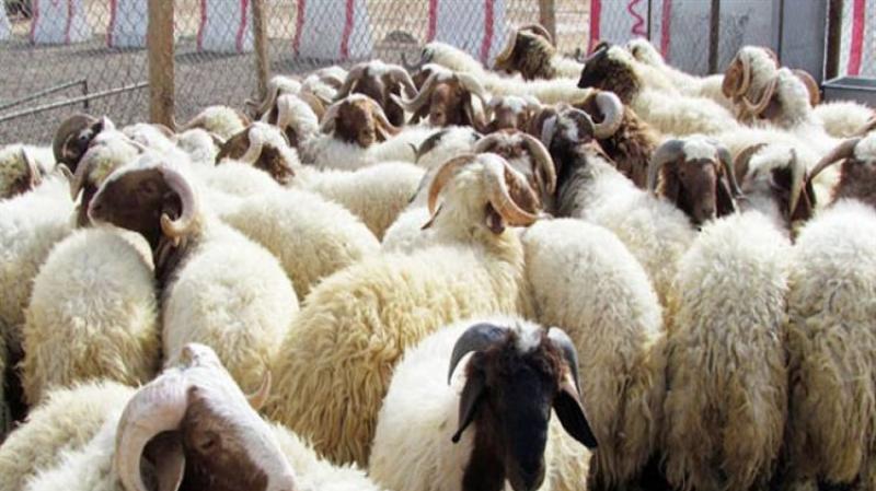 الجزائر: غلق أسواق الماشية على الحدود التونسية بسبب الطاعون
