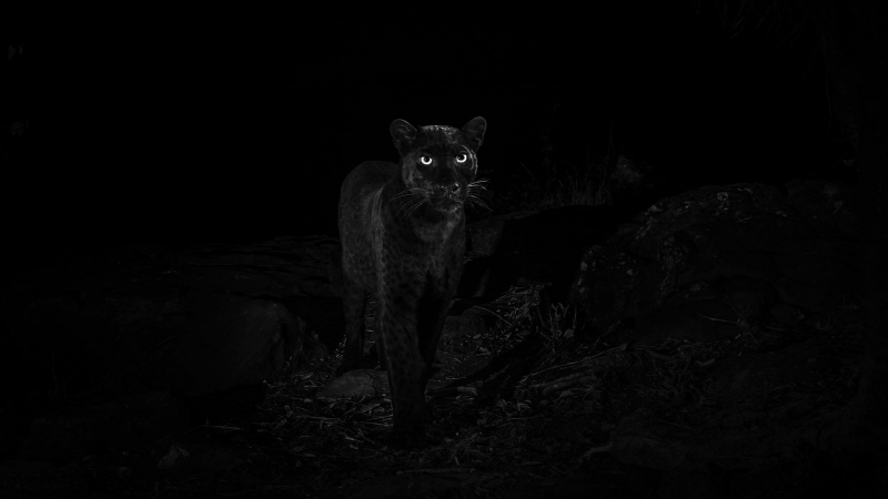 بعد مائة عام: الفهد الأسود يعود من جديد