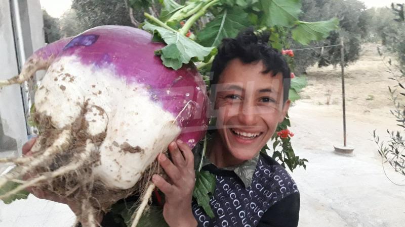 تزن 12 كلغ: حبّة لفت عملاقة في مزرعة بالقيروان