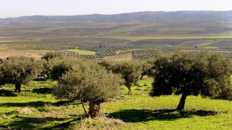 تونس الأولى عالميا في مساحات غراسة الزيتون البيولوجي