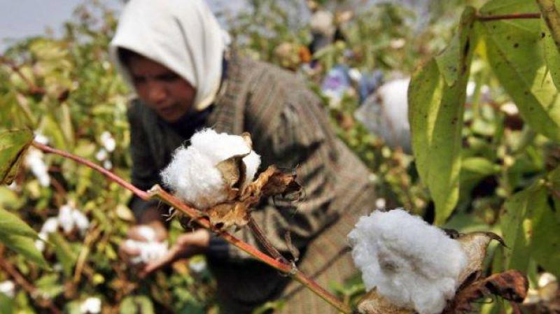 تونس تخوض تجربة صناعة القطن