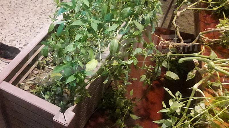 مزرعة ماريخوانا في منزل كهل في جندوبة