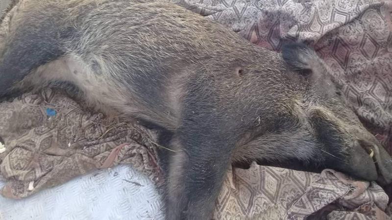 سوسة : الخنازير تهاجم المزارع في أكودة وتتلف المحاصيل