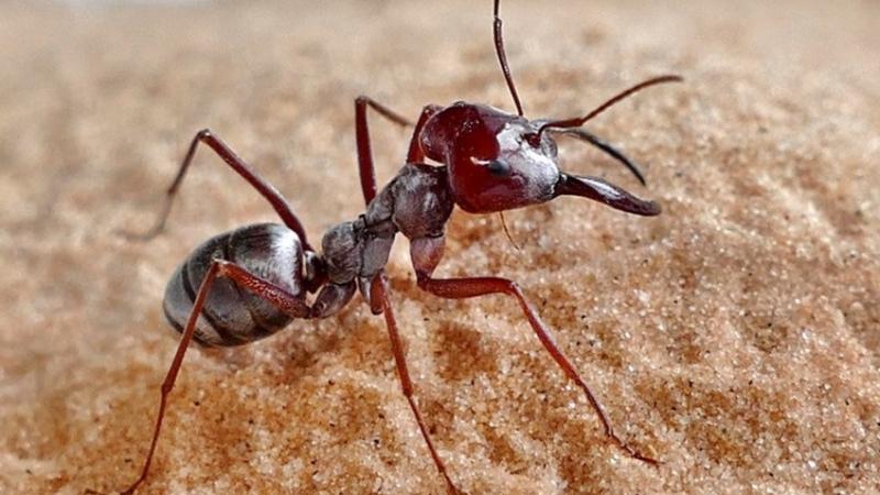 أسرع نملة في العالم تعيش في تونس