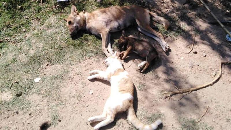 القصرين: حتى الكلاب لم تسلم من عصابات سرقة المواشي