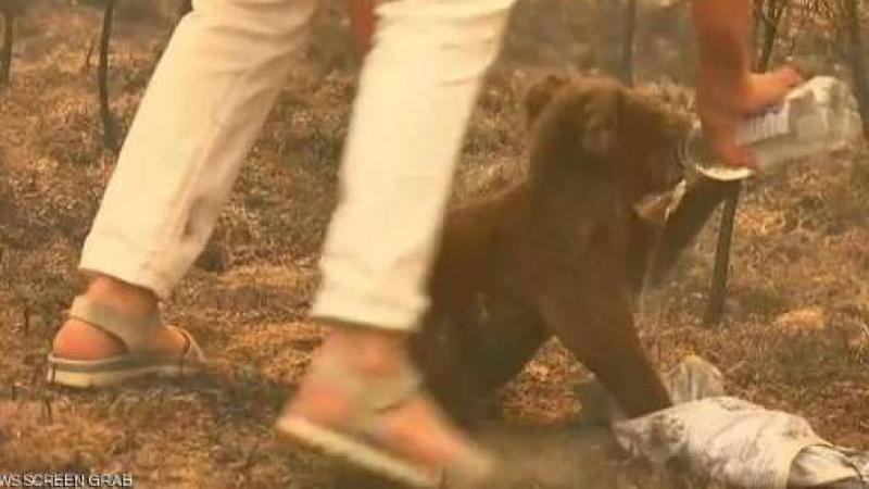 أسترالية تخاطر بحياتها لإنقاذ كوالا من النيران