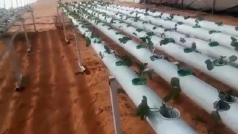 تطاوين: شابة تطلق مشروعا لزراعة الفراولة دون تربة