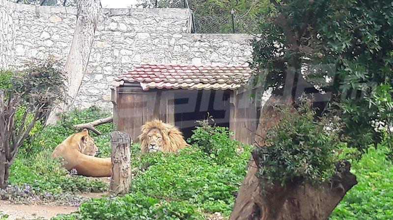 بلدية تونس: جميع الأسود موجودة في حديقة الحيوانات بالبلفدير