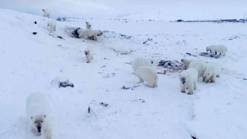 56 دبّا قطبيّا يغزون قرية روسيّة بسبب الجوع