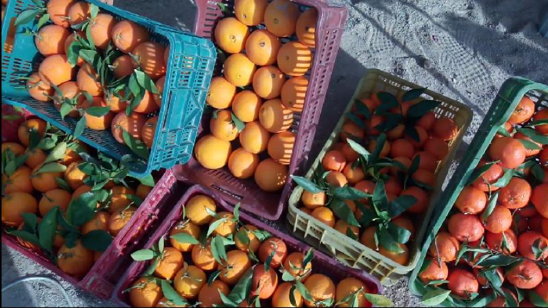 القيروان: صابة قوارص وفيرة والأهالي ينظّمون مهرجانا