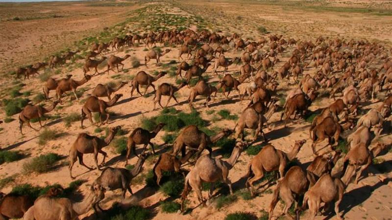 أستراليا: إعدام أكثر من 10 آلاف جمل للحدّ من استهلاك المياه