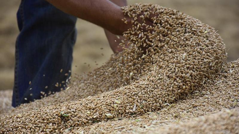 الإتحاد الفلاحة ينادي بتوفير ''الأمونيتر'' لإنقاذ إنتاج الحبوب
