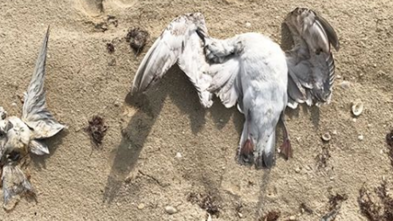 طيور القطرس النافقة بحمام سوسة خالية من مرض الانفلونزا