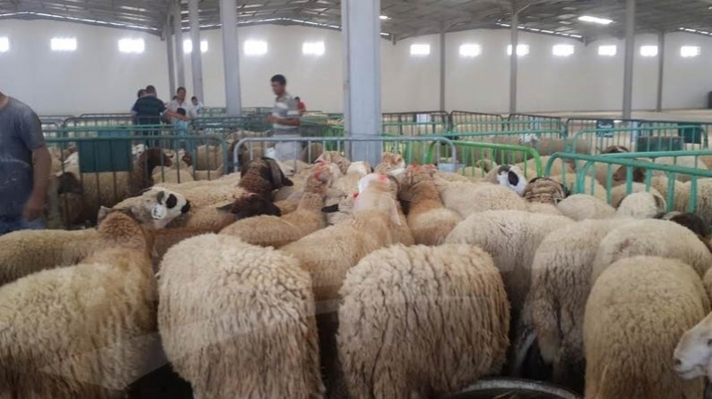 انطلاق بيع الأضاحي بنقطة شركة اللحوم