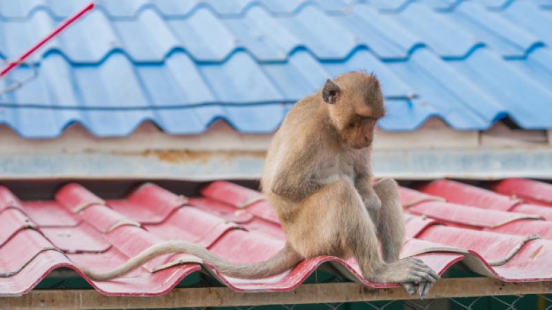 بعد طردها من منتجع سياحي.. القرود تحتل منازل القرويين
