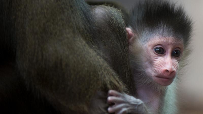سويسرا: إستفتاء تاريخي لمنح القردة حقوقا أساسية كالبشر..
