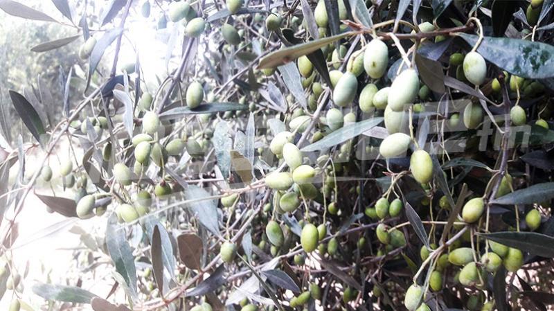 رمادة: انطلاق مشروع غراسة 135000 شجرة زيتون