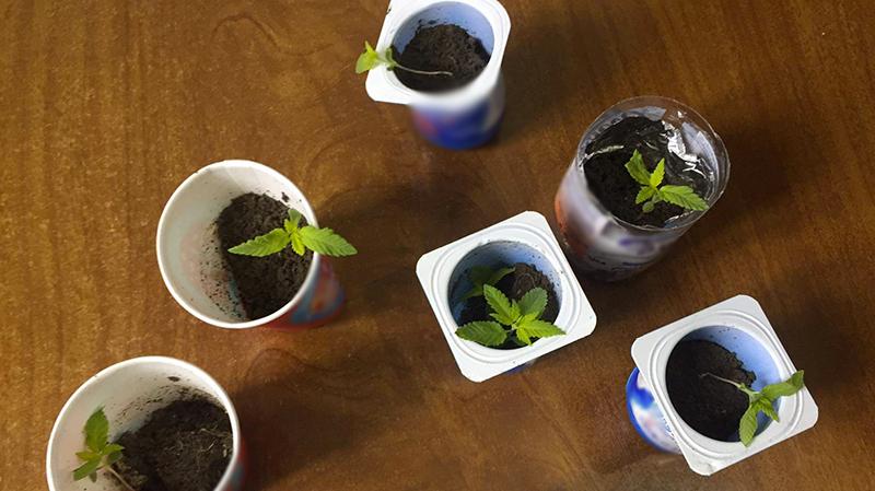 باجة : يزرع المارخوانا في علب ''الياغورت''