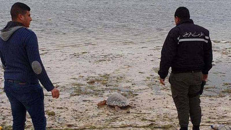 إنقاذ سلحفاة بحرية نادرة عثر عليها في قرقنة