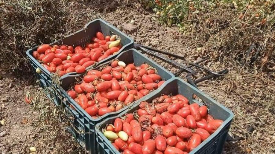 جندوبة :فلاحو وادي مليز يستغيثون بسبب تأخر رفع صابة الطماطم