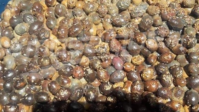 des olives avariées