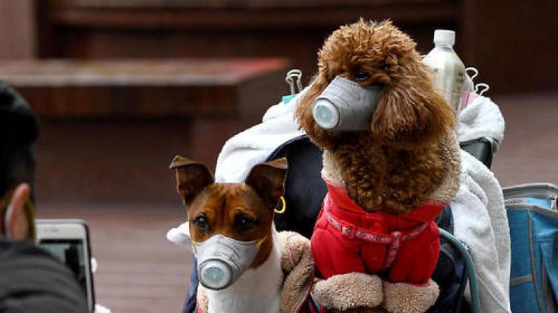 Hongkong : un chien testé positif au coronavirus