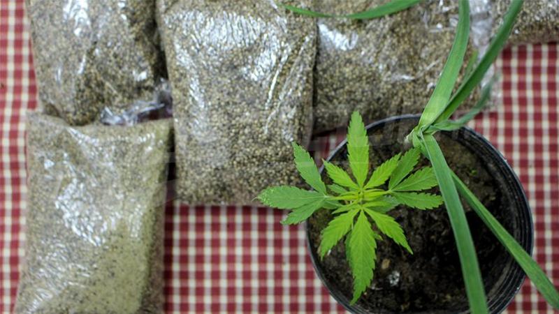 Le ministère de l'Agriculture importe des graines à base de Marijuana