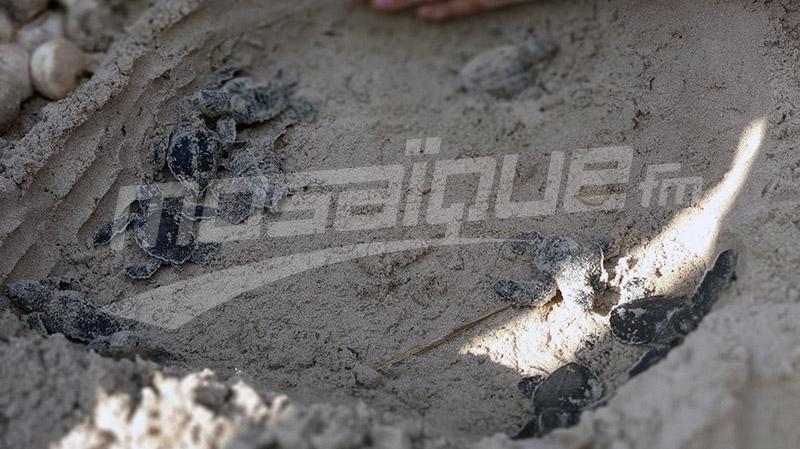 Mahdia: Eclosion d'œufs de tortue verte... phénomène rare