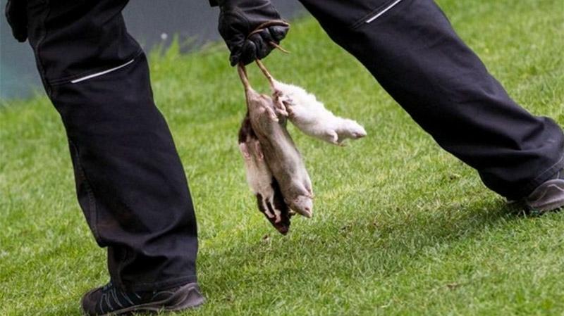 rats-morts