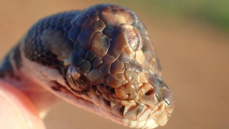 serpent à trois yeux