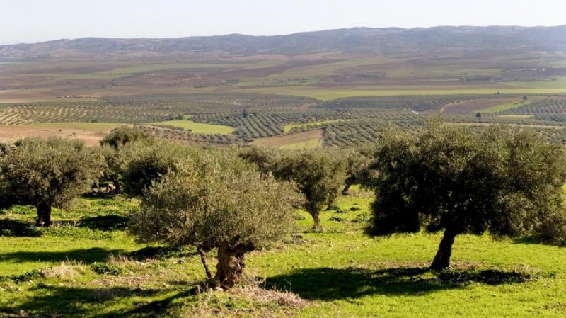 Superficies d'oliveraies biologiques: La Tunisie au 1er rang