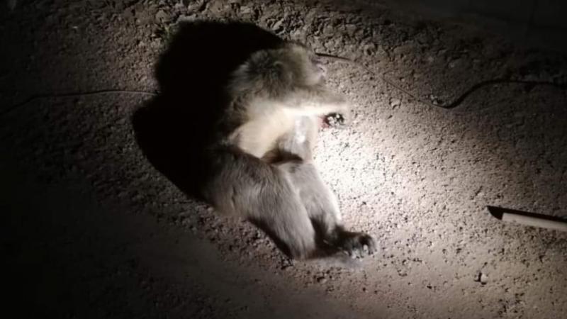 Tataouine: Un singe terrorise les habitants
