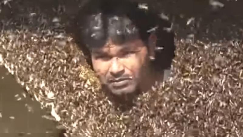 Un chasseur de miel se remplit la bouche d'abeilles sauvages