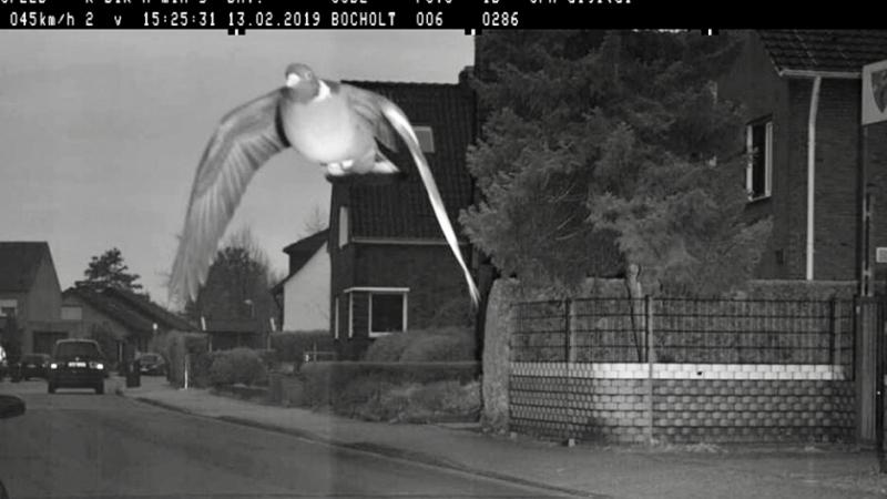 Une  amende de 25 € pour un pigeon en excès de vitesse