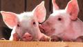 الخنازير لإنقاذ حياة البشر ؟!