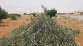 قطع أشجار زيتون في بئر علي بن خليفة