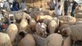 نقطتان لبيع أضاحي العيد في رادس والمروج